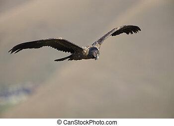 Lammergeyer or Bearded Vulture - Juvenile Lammergeyer or ...