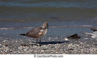 Juvenile Laughing Gull, Leucophaeus atricilla, on a Florida...