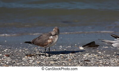 Juvenile Laughing Gull, Leucophaeus atricilla, on a Florida...