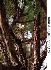 Juvenile light morph Red-tailed hawk Buteo jamaicensis eats ...