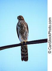 Juvenile light morph Red-tailed hawk Buteo jamaicensis ...