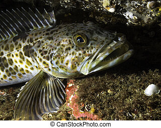 Juvenile Lingcod - A juvenile Lingcod photographed at a ...
