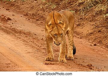 Juvenile Lion on a Dirt Road