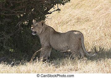 Juvenile lion
