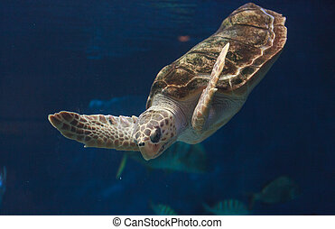 Juvenile loggerhead sea turtle, Caretta caretta, swims ...