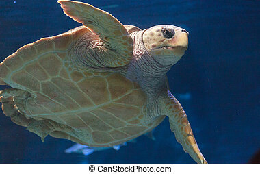 Juvenile loggerhead sea turtle, Caretta caretta, swims...