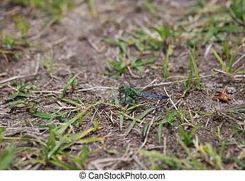 Juvenile male blue dasher dragonfly with carrying eggs