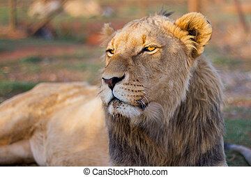 Juvenile male lion in a camp with green grass