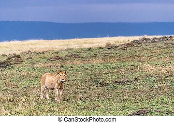 Juvenile male lion in evening light. Masi Mara, Kenya