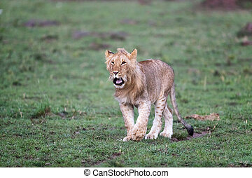 Juvenile male lion walking through the grasslands of the Masai Mara, Kenya.