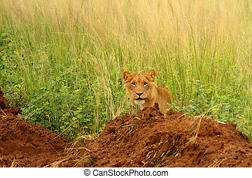 Juvenile male lion peers out from long grass