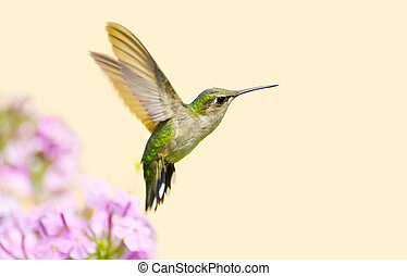 Close up image of a pretty juvenile male ruby throated hummingbird (archilochus colubris) in motion in the garden on a hot summer day with copy space.
