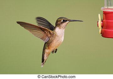 Juvenile male Ruby-throated Hummingbird (archilochus colubris) in flight at a feeder