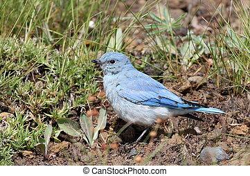 Juvenile Mountain Bluebird - A juvenile Mountain Bluebird in...