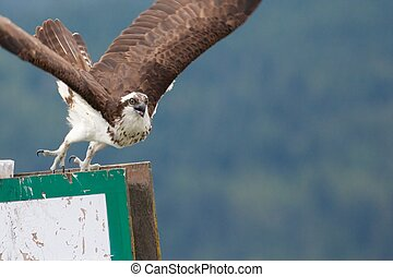 Juvenile osprey launching from a signpost at Salmon Arm, Canada