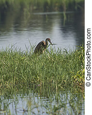 Juvenile purple heron stood in reeds of river marshland