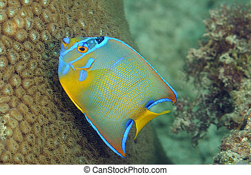 Juvenile Queen Angelfish swimming next to a star coral.
