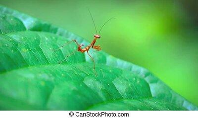 """Juvenile, Red Praying Mantis - """"Juvenile, red praying..."""