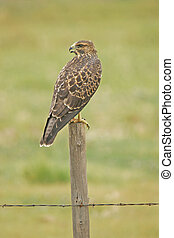 Juvenile Red-tailed Hawk (Buteo jamaicensis) sitting on a ...