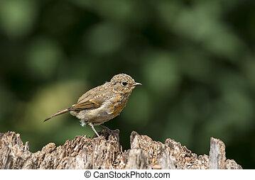 Juvenile Robin bird Erithacus Rubecula on tree stump in forest landscape setting