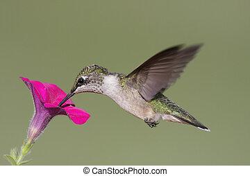 Juvenile Ruby-throated Hummingbird (archilochus colubris) in...