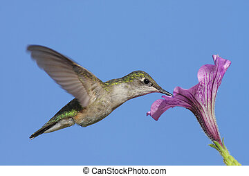 Juvenile Ruby-throated Hummingbird (archilochus colubris) in flight with a purple flowe and a blue sky backgroundr