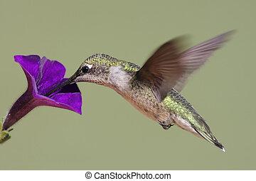Juvenile Ruby-throated Hummingbird (archilochus colubris) in flight with a purple flower