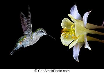 Juvenile Ruby-throated Hummingbird - Hummingbird...