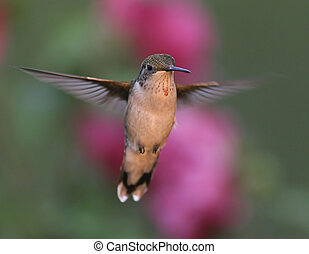 Juvenile Ruby-throated Hummingbird in flight with flowers in the background
