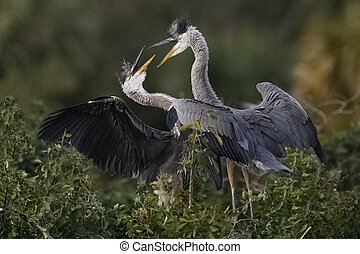 Juvenile sibling Great Blue Herons engaged in a dispute - Florida