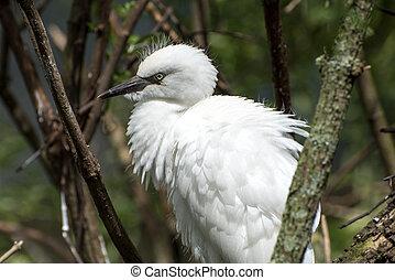 Juvenile snowy egret.
