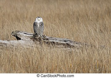 Juvenile Snowy Owl Perched on a Log