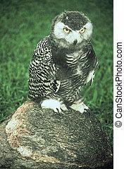 Juvenile Snowy Owl - Spring portrait of a juvenile snowy owl...
