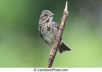 Juvenile Song Sparrow (Melospiza melodia) in a bush with a green background
