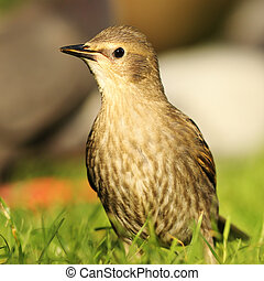 juvenile starling on lawn