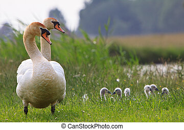 Juvenile swans and parents in the grass near water