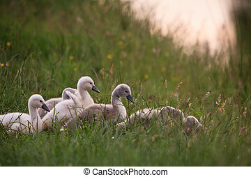 Juvenile swans in the grass