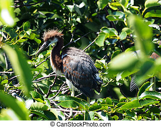 Juvenile Tricolored Heron in Tree