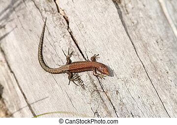 juvenile viviparous lizard ( Lacerta vivipara ) basking on...