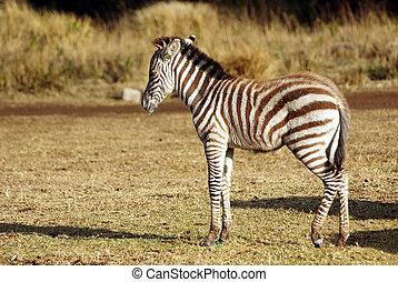 Juvenile wild zebra