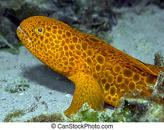 Juvenile Wolf Eel - A vibrant juvenile Wolf Eel photographed...
