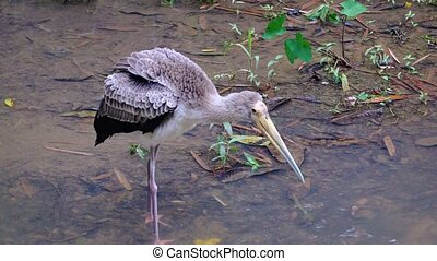 Juvenile Yellow Billed Stork at a Popular Bird Park