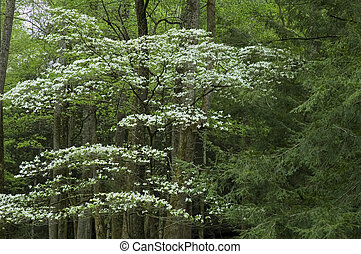 JW 014 083 05 - Dogwood, Spring, Cades Cove, Great Smoky ...