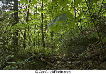 Spring Foliage, Great Smoky Mtns National Park, TN