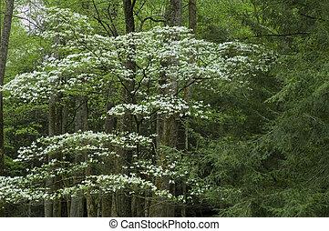 JW_014_083_05 - Dogwood, Spring, Cades Cove, Great Smoky...