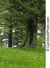 JW_033_158_05 - Old Tree, Spring, Great Smoky Mtns Nat Park