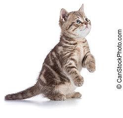kã¤tzchen, oder, katz, stehende , freigestellt, weiß