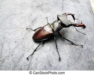 käfer, hirsch