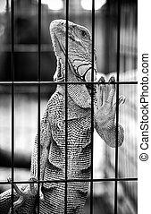 käfig, leguan