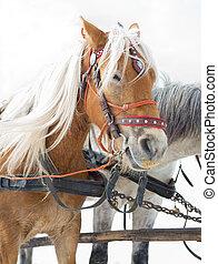 kälke, häst, transport, tourist dragning, alternativ, vinter